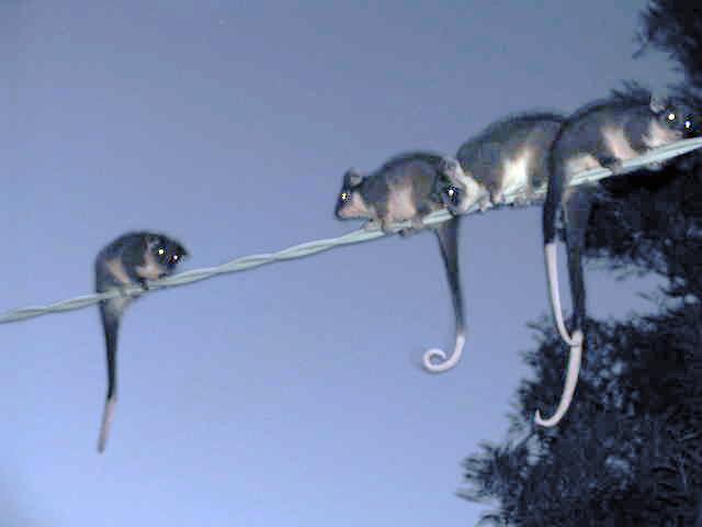 Possums – Playful, Pesky and Prolific, Provide Plenty to Ponder for ...