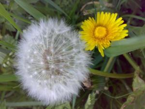 dandelion and puffball