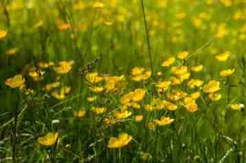 Meadow buttercup 2 - Kew