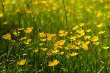 Meadow buttercup 2 - Kew