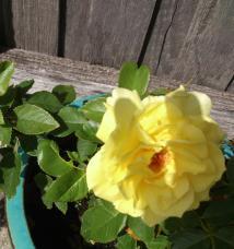 john's rose