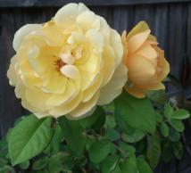 john's roses 2