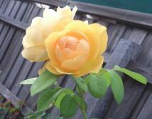 john's roses 3