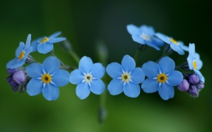 Forget-me-not-Flower-Wallpaper11