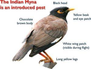 myna-india
