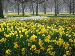 daffodil-field-of-spring-flowers-1118523