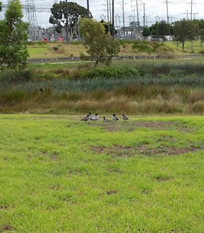 a group of Pacific Ducks.jpg