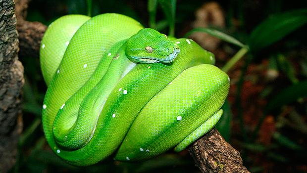 green-tree-python-Morelia_viridis