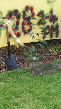 the newly planted wattle