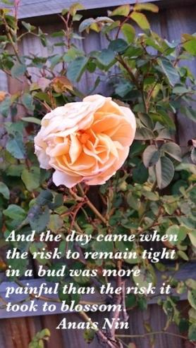 johns rose.jpg