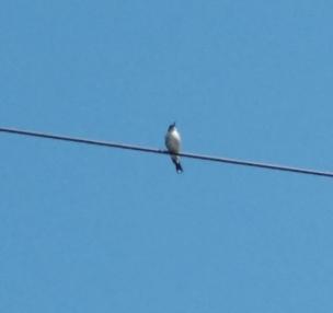 juvenile-butcherbird