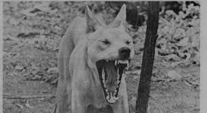 dingo-angry
