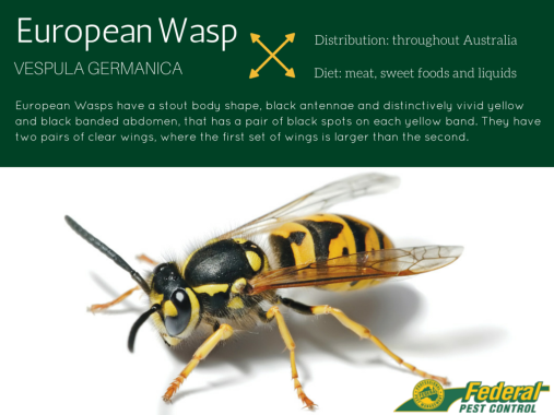 European-Wasp-Infographic