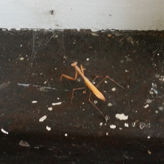 stick insect 1jpg