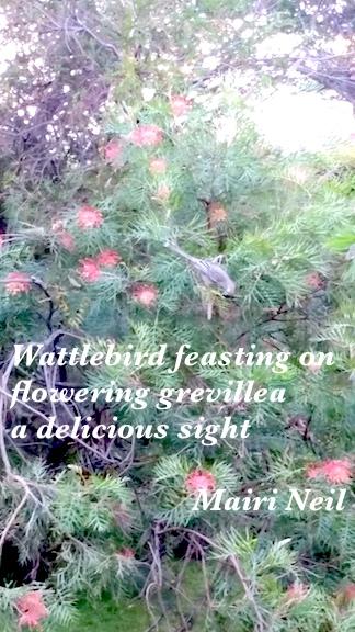 wattlebird feasting