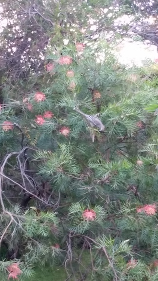 wattlebird feeding