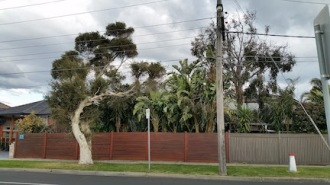gum tree in Chute St