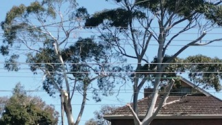 tree trimmed 1