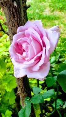 blue mooon rose single