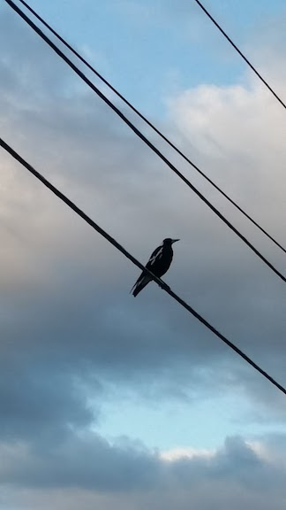 magpie on electric wire
