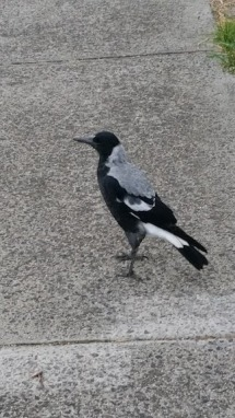 magpie on path