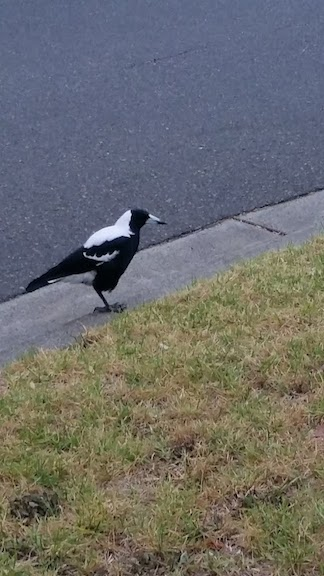 magpie on road