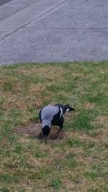 magpie pecking nature strip