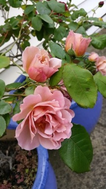 musk roses