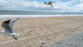 seagulls at Edithvale
