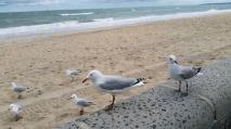 seagulls edithvale