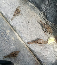 several sparrows with scone