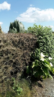 spider web hedge