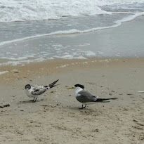terns at Edithvale.jpg