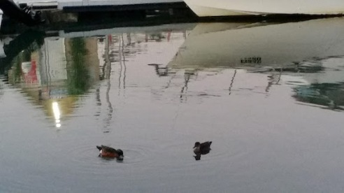 ducks on creek