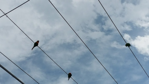 lorikeets on wires
