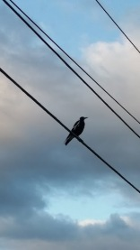 magpie atop wires