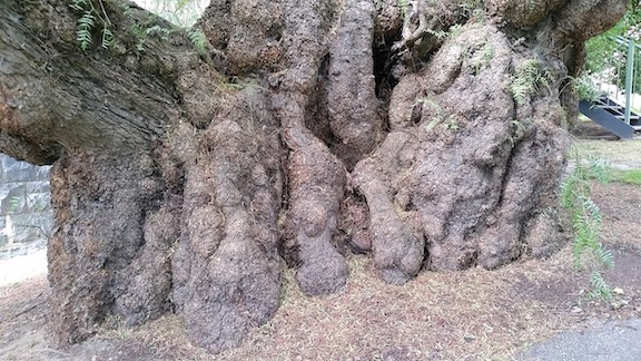 willsmere tree trunk 2