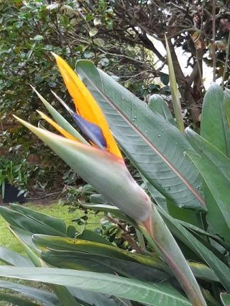 bird of paradise july 18