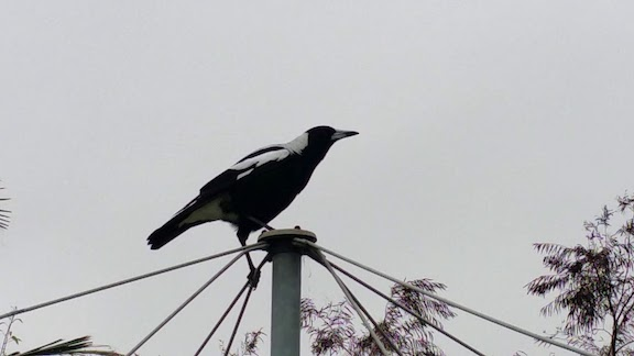 magpie flying