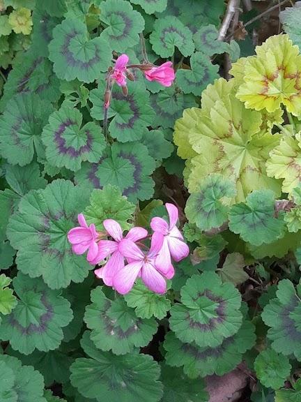 pink geraniums jul18