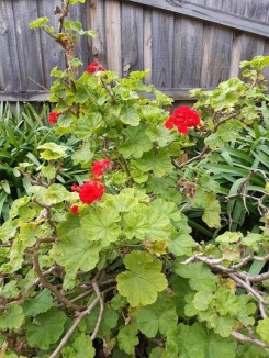 red geraniums july18