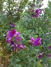 purple flowers bentleigh