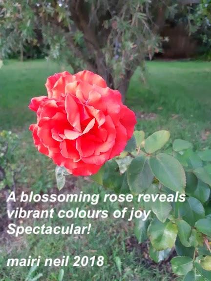 my pink-red rose.jpg