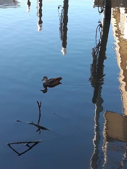 a duck in Mordi Creek.jpg
