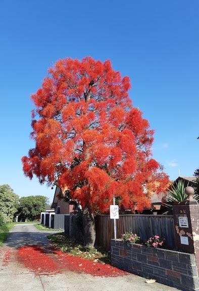 flame tree mentone.jpg