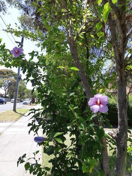 hibiscus 2