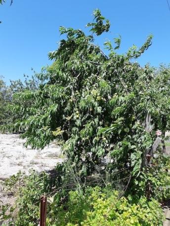 nectaribes