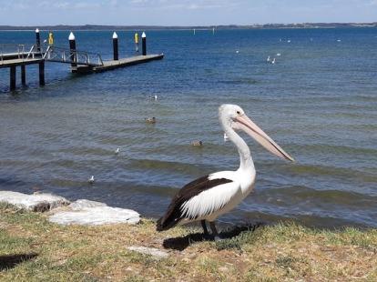 pelican standing guard
