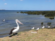 pelican with mudflats