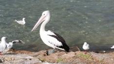 pelicans april 2018